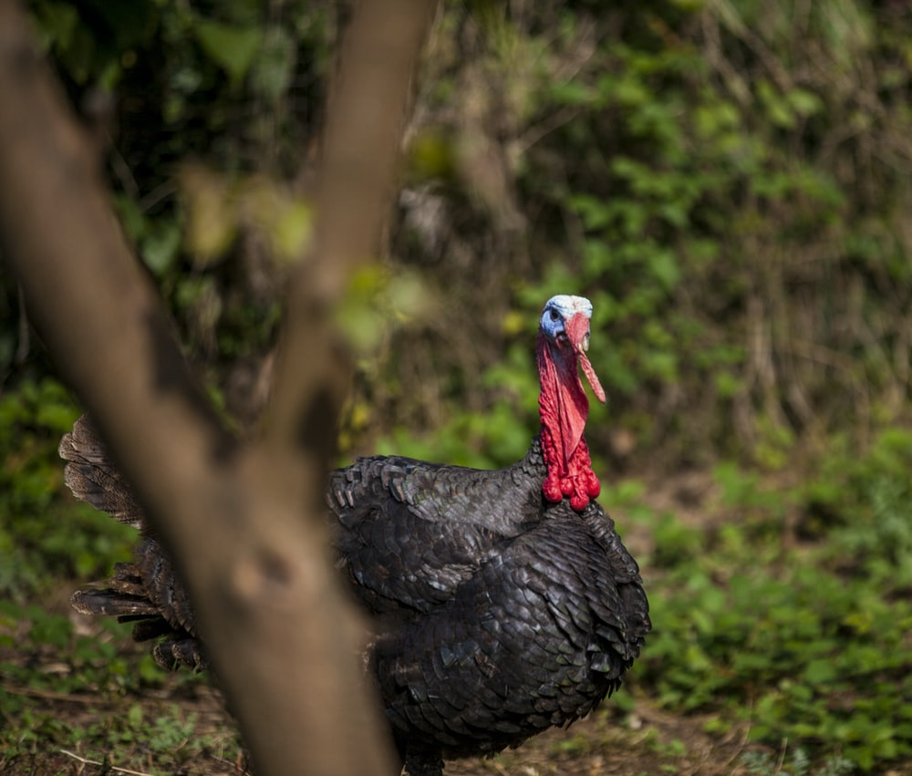 shallow focus photography of male black turkey