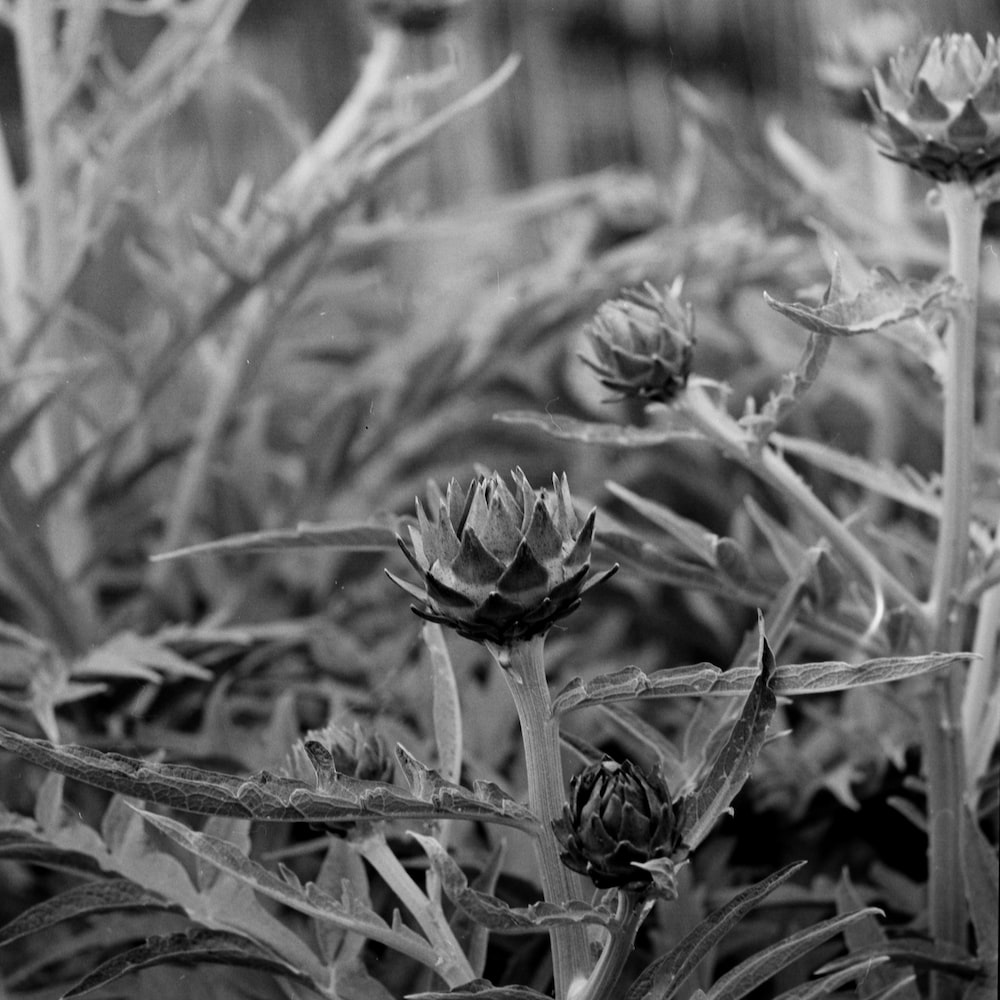 gray scale photo of flower