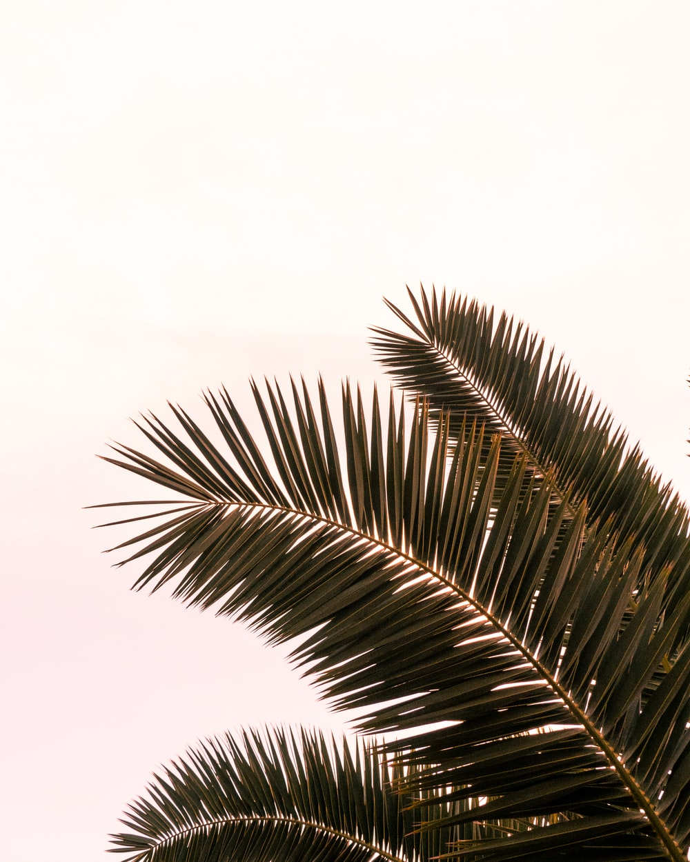 green coconut palm fronds