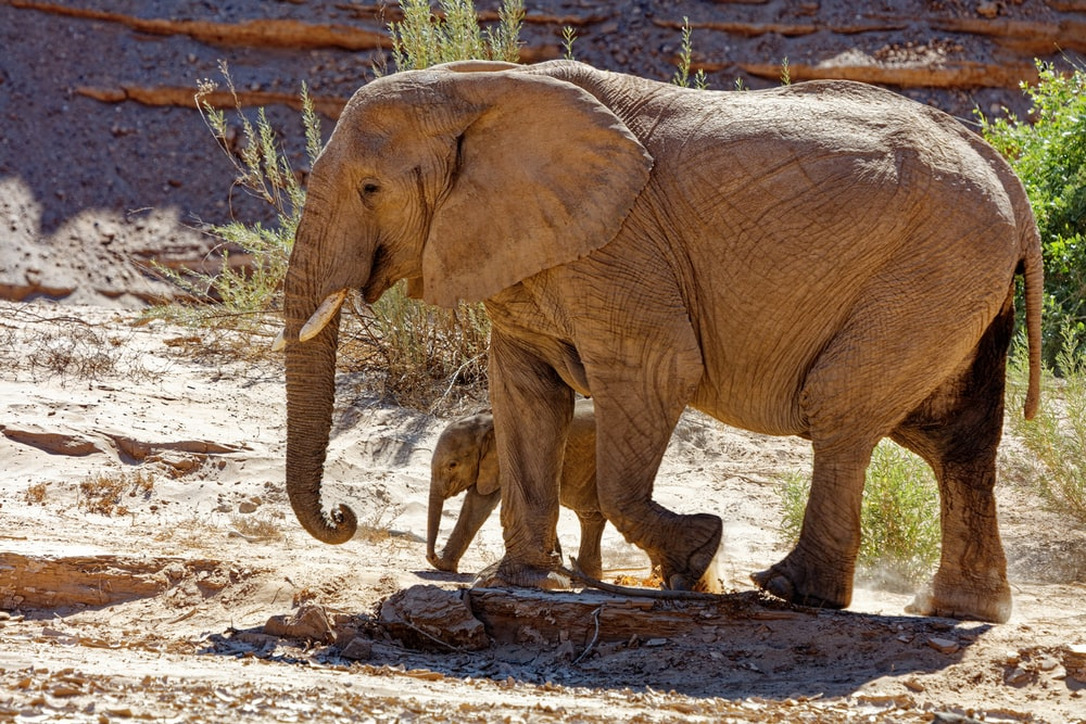 brown elephant with calf