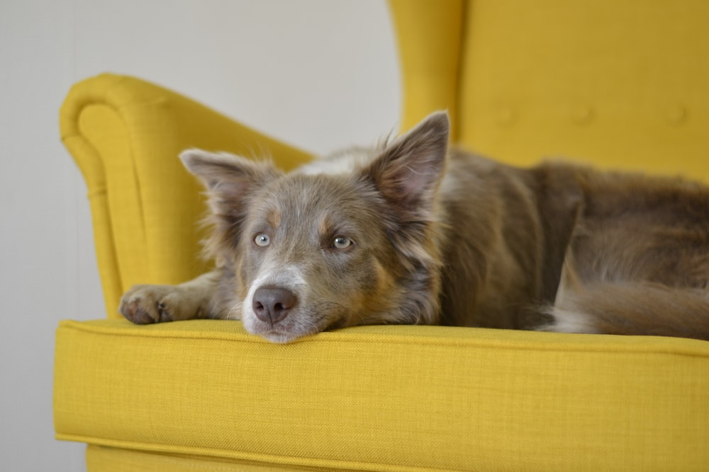 brown dag lying on yellow sofa chair