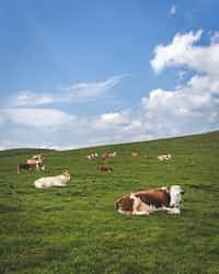 Until Death cattle stories