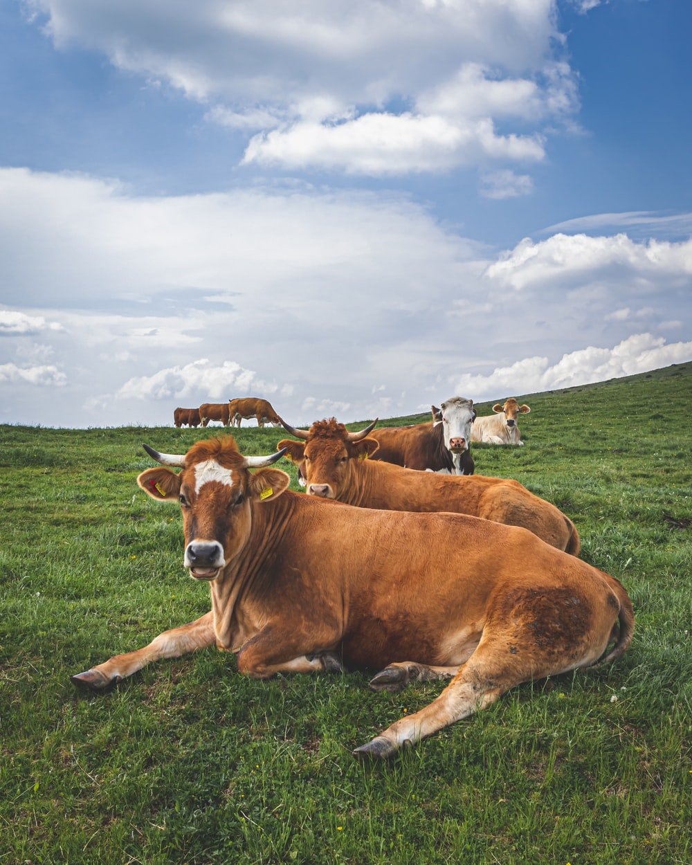two brown cattle lying on green grass during daytime