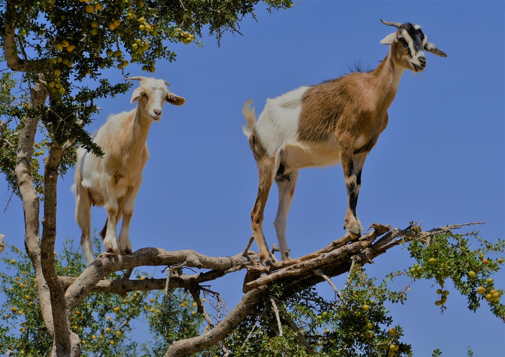 two brown and white goats on the top of tree during daytime