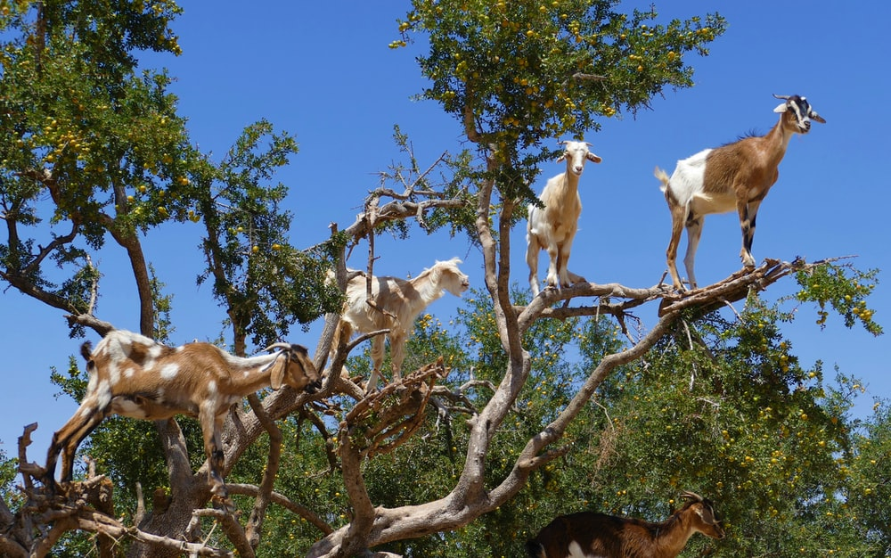 white and brown goats on the top tree during daytime