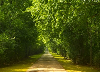 landscape photo of walk pathway lined with trees