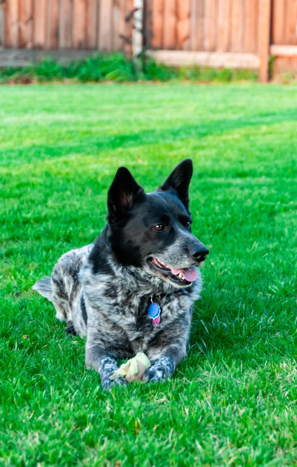 black and gray dog