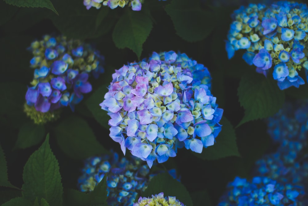 blue and yellow hydrangea flowers