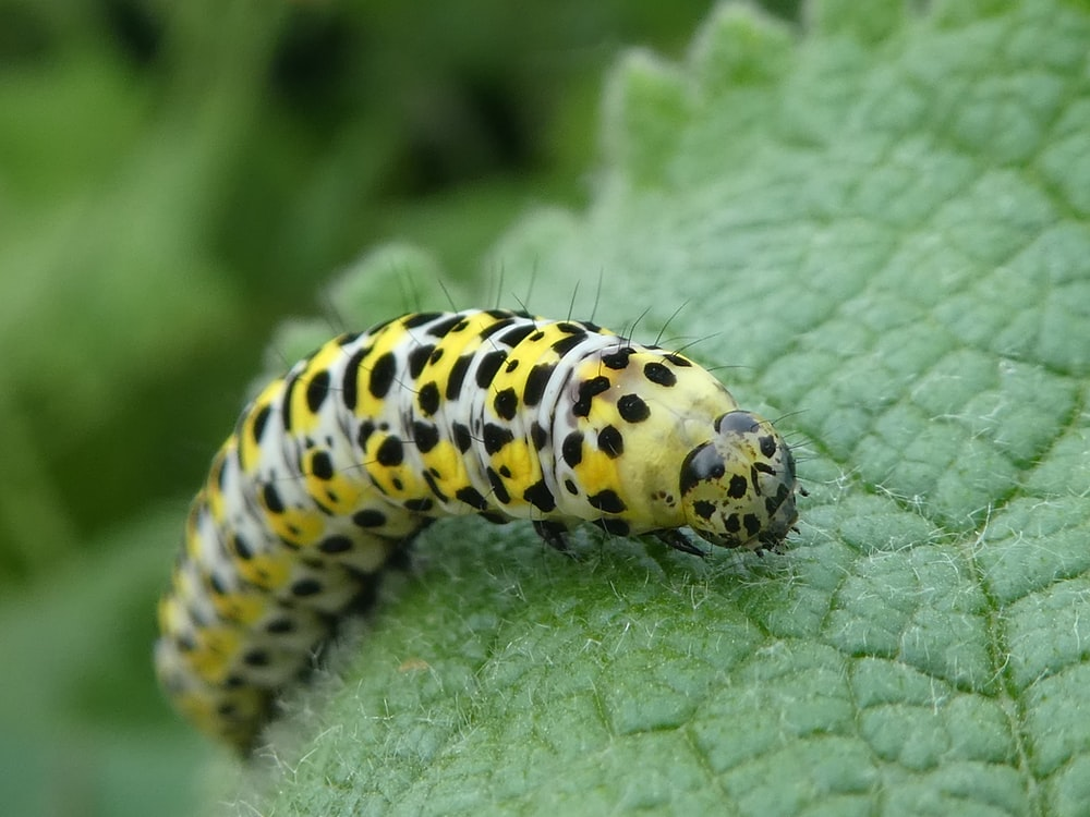 yellow worm in a green leaf close-up photography