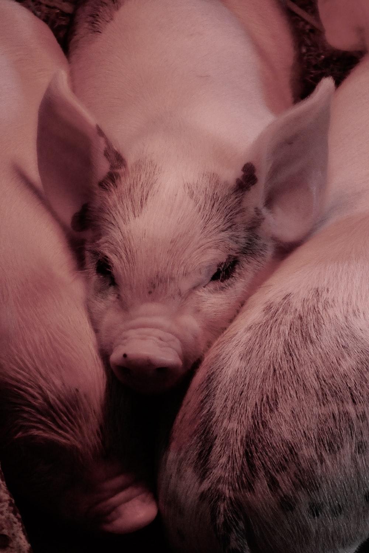 three piglets