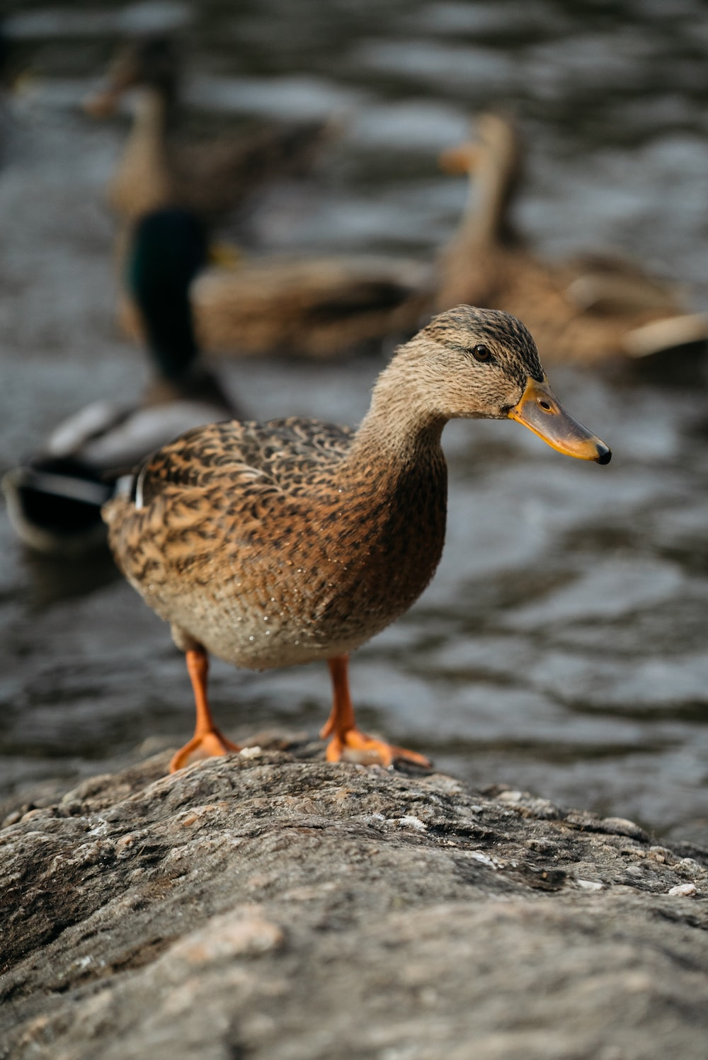 brown and black duck
