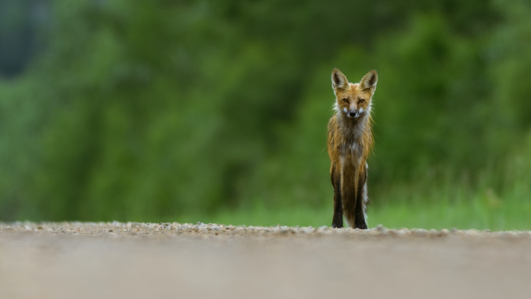 A red fox in Northern Alberta, Canada.