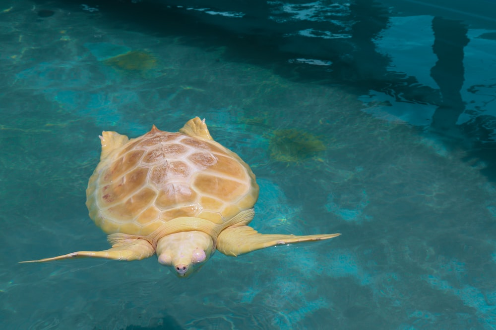 close-up photo of brown swimming turtle