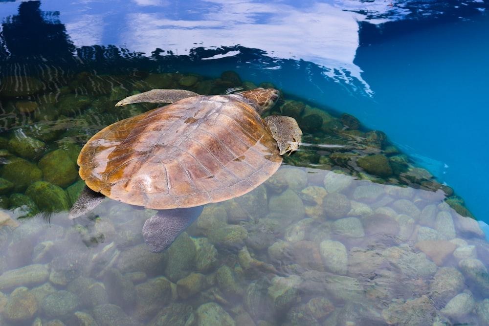 brown turtle on water
