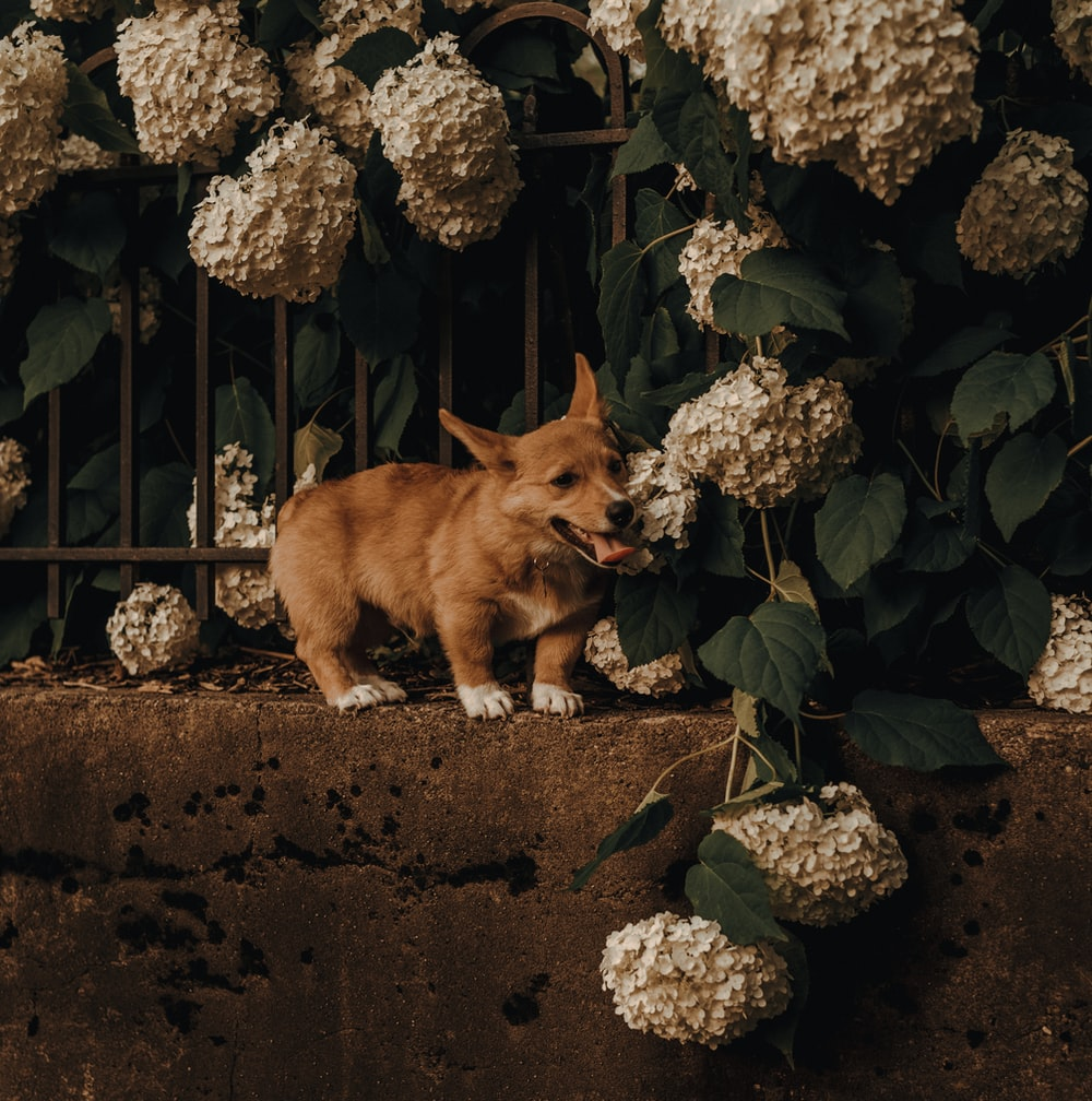 brown corgi on concrete fence