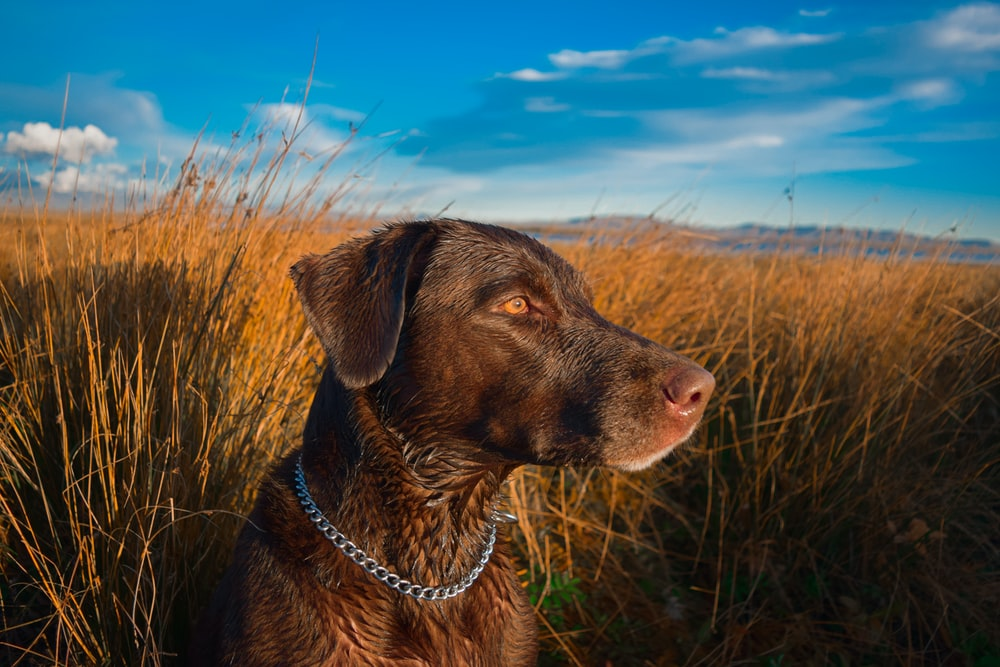 brown Labrador retriever near brown field under blue and white skies