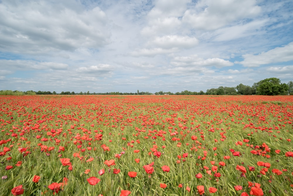 bed of common poppy flowers