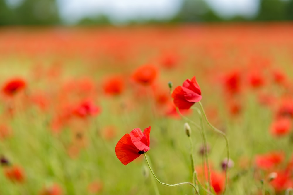 selective focus photography of red poppy flower field