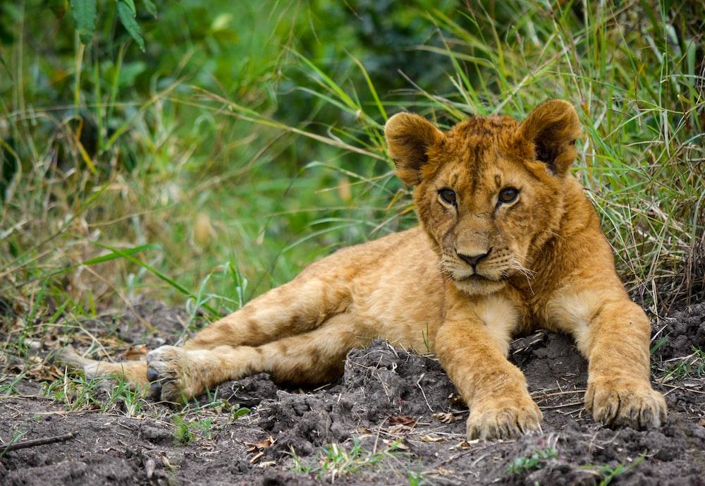 brown lion cub