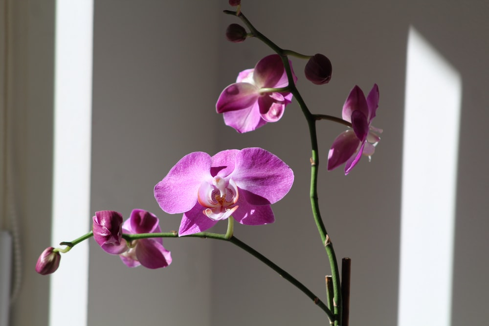 pink moth orchid plant