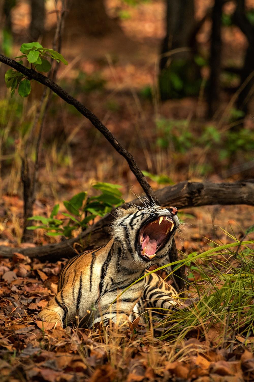 tiger near trees at aytime