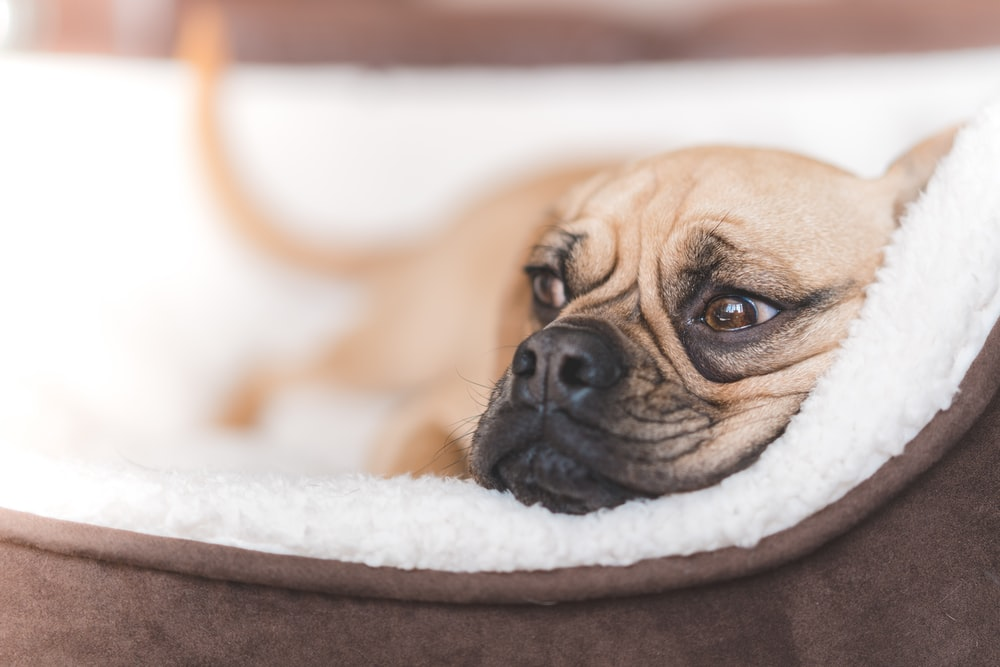 short-coated fawn dog lying on brown pet bed