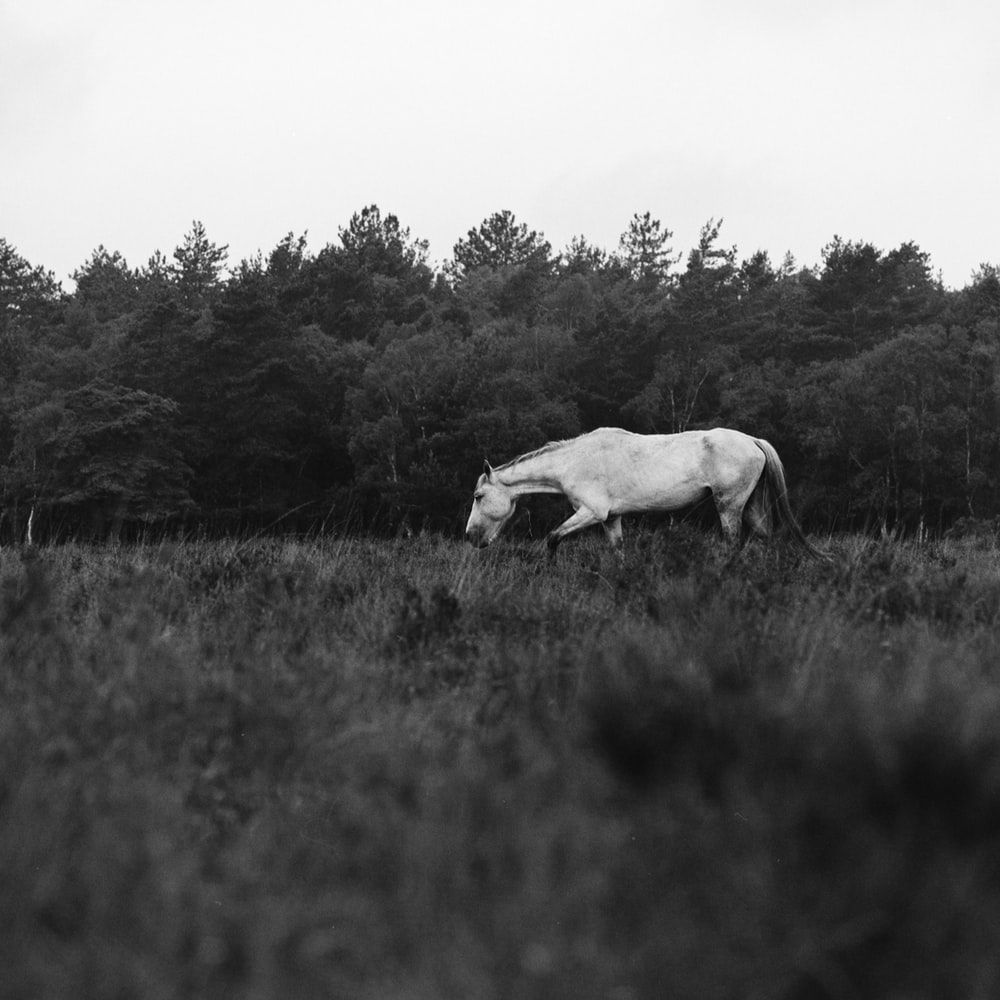 grayscale photography of horse on walking on grass during daytime