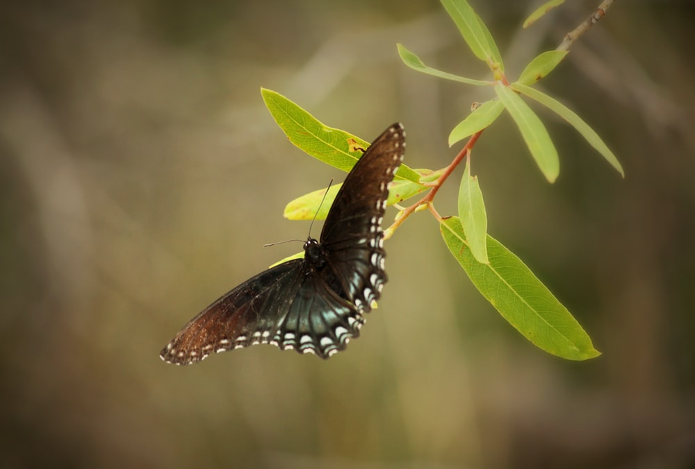 brown and black butterfly