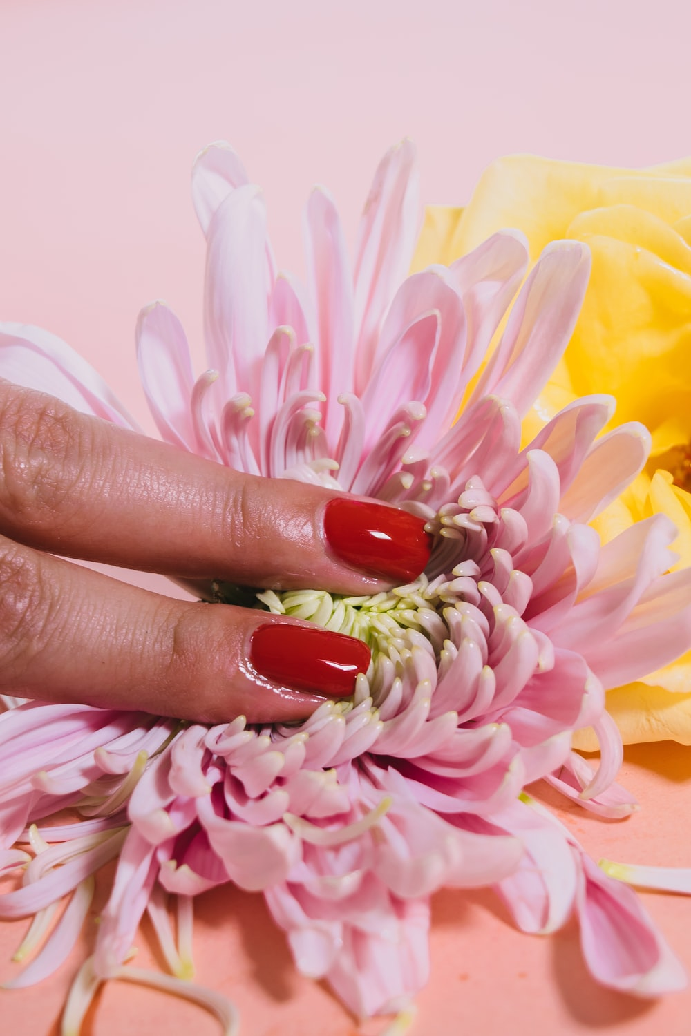 person pressing a chrysanthemum flower on pink surface
