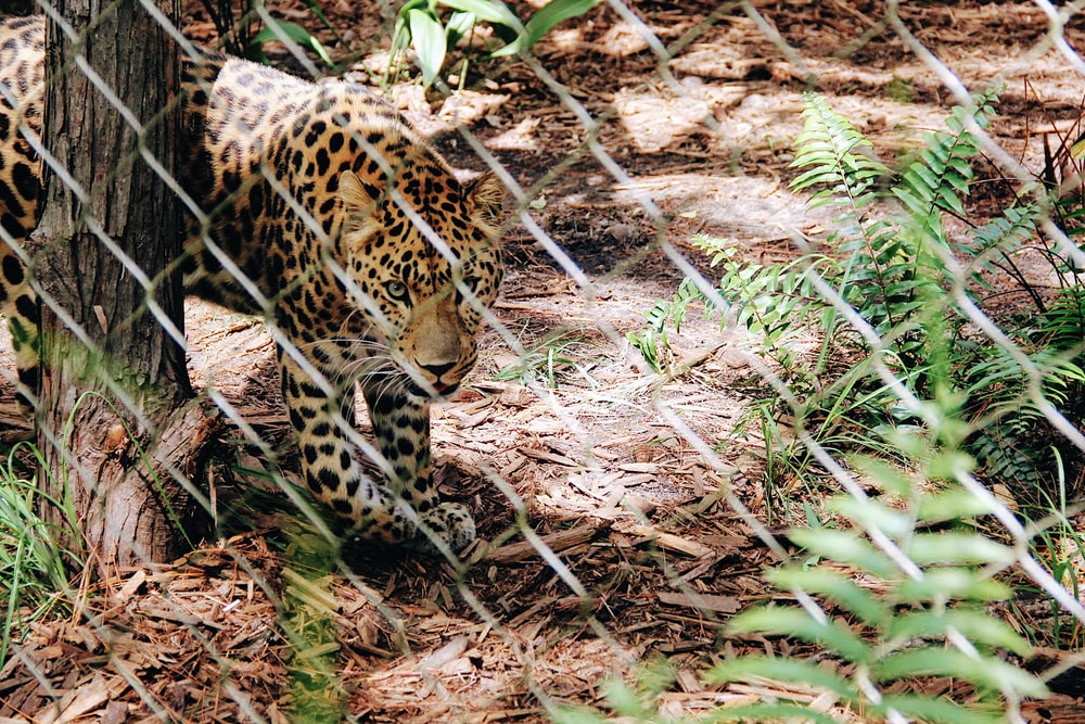 leopard near chain link fence