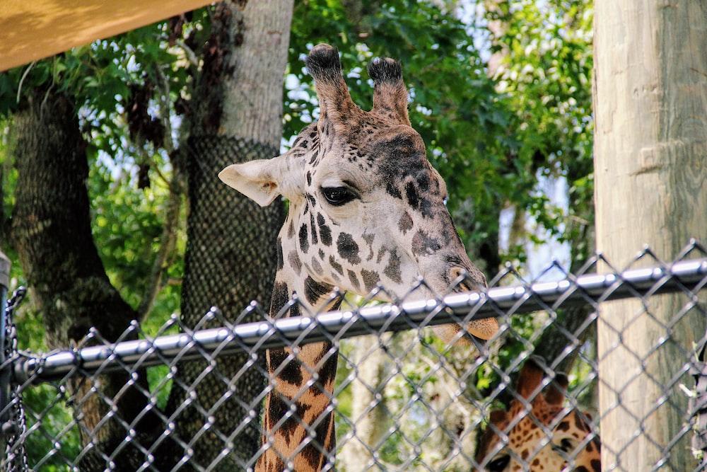 brown giraffe