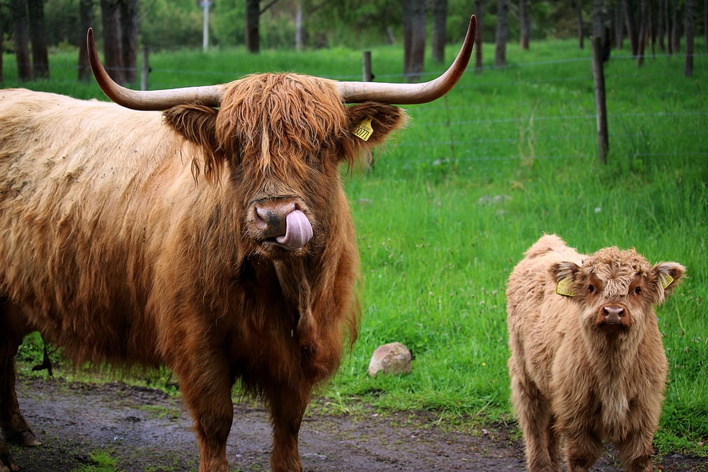 adult West Highland cattle by calf
