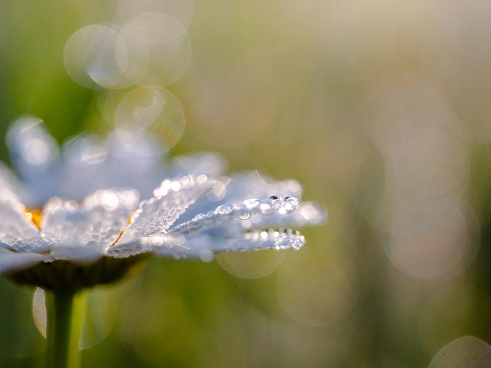water dew on flower