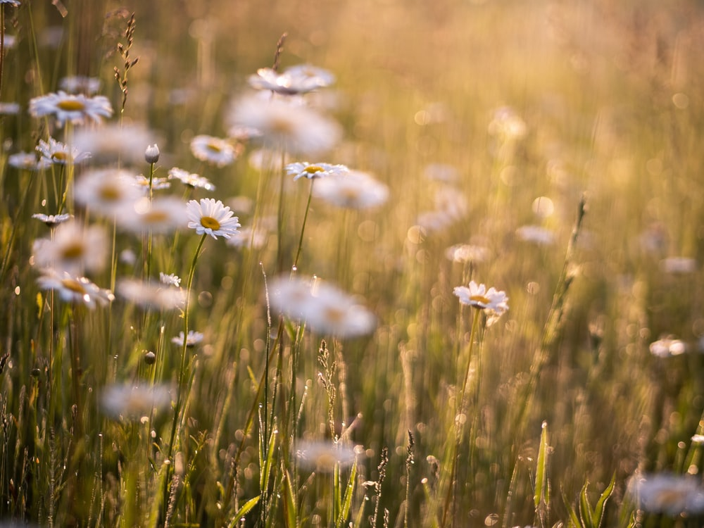 white petaled flower field during daytime