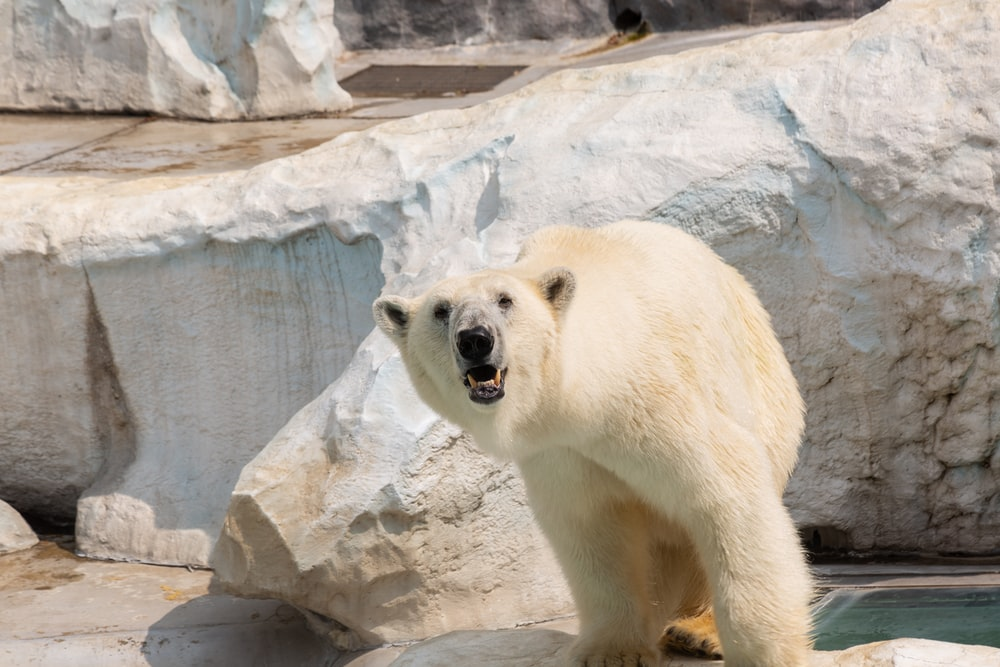 polar bear inside the cage