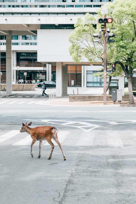 deer walking down the street