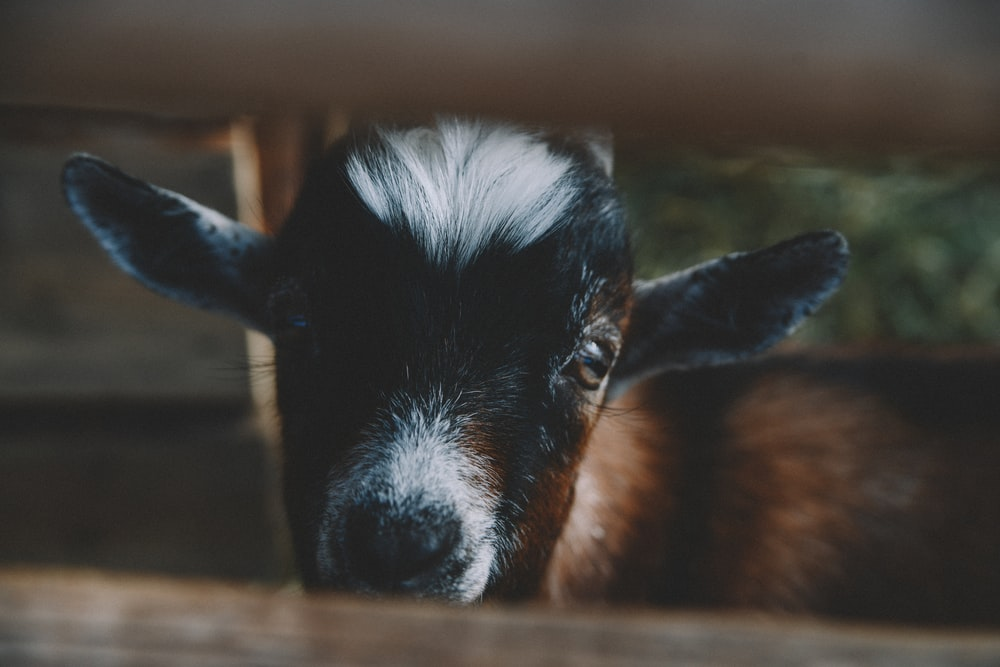 black and brown goat close-up photography