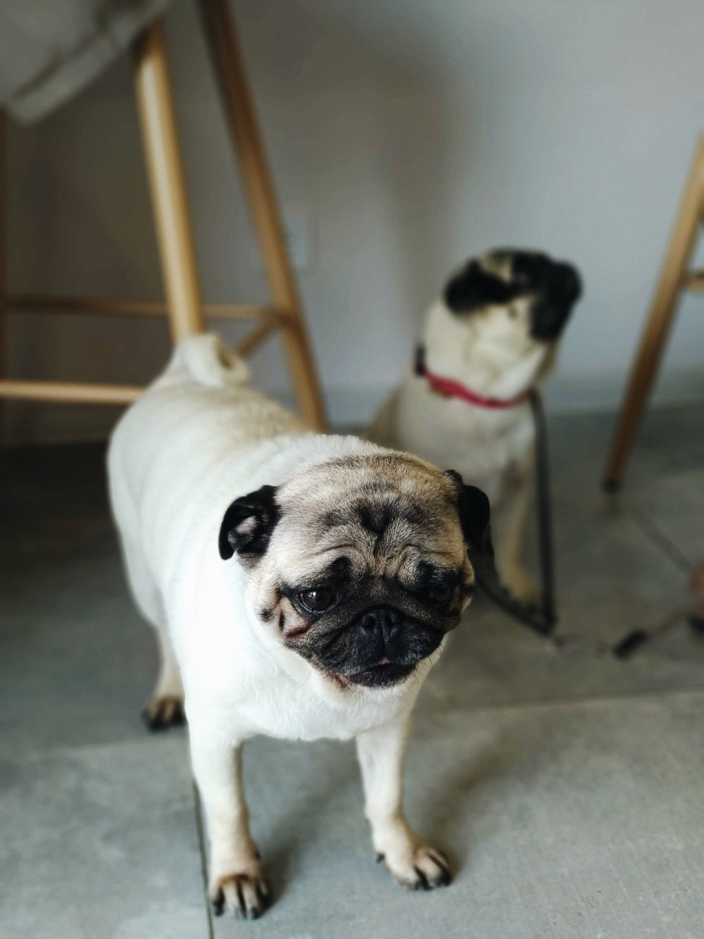 two fawn pugs near wall