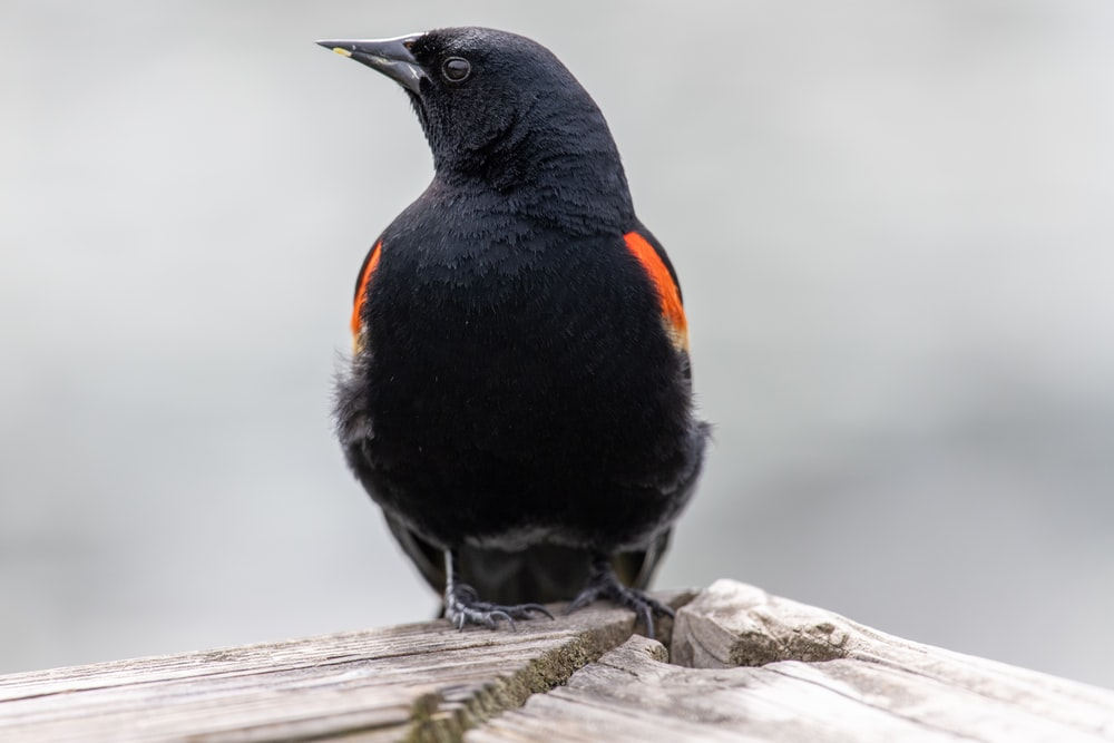 black bird on wooden surfacew