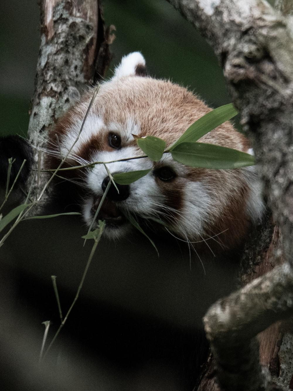 shallow focus photo of red panda