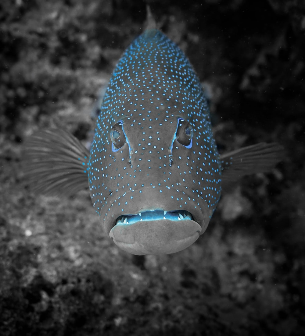 black and blue fish