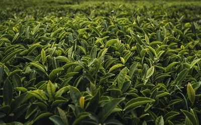 green plant scenery tea zoom background
