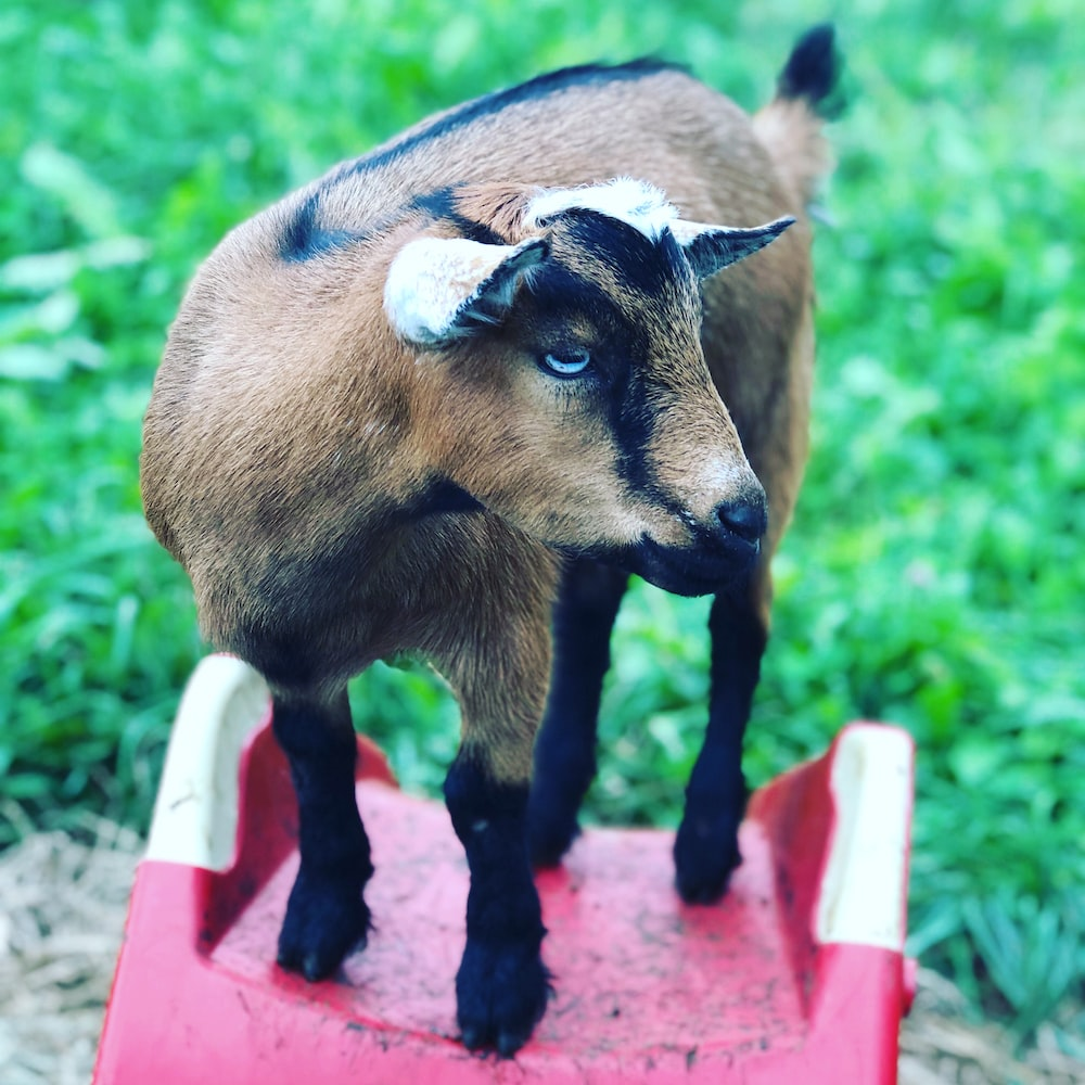 brown and black goat kid on red surface