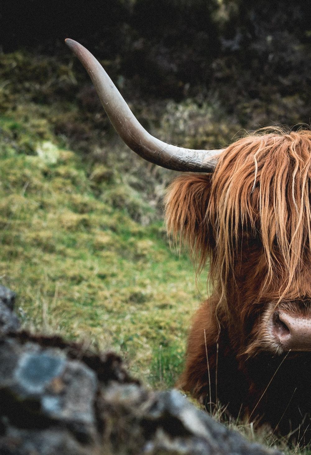 brown bull on grass field