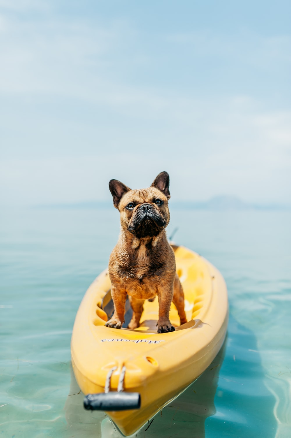 adult brown French bulldog standing on kayak