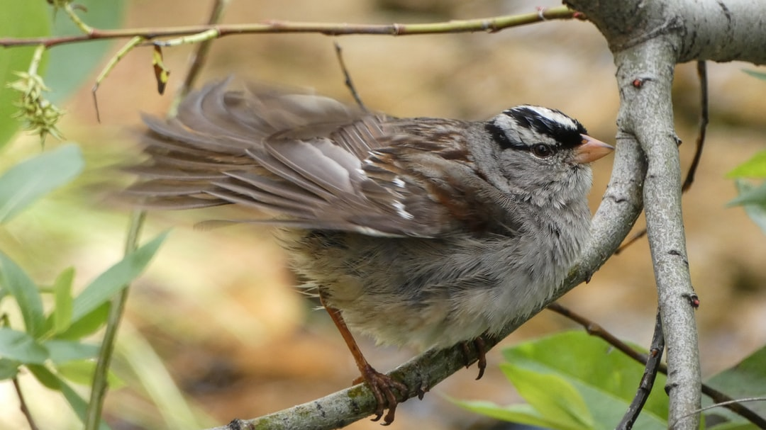 A white crowned sparrow shaking its feathers after a bath in the creek