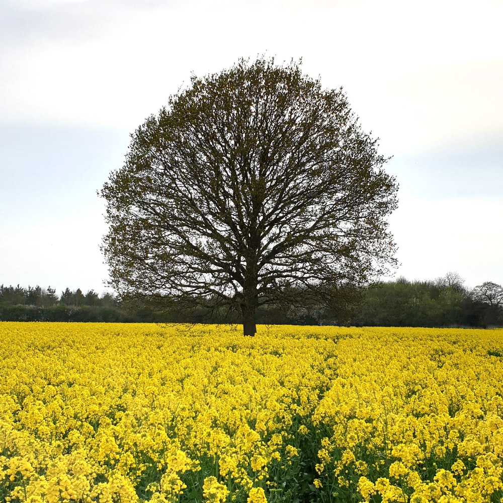 green leaf tree in between yellow flower field