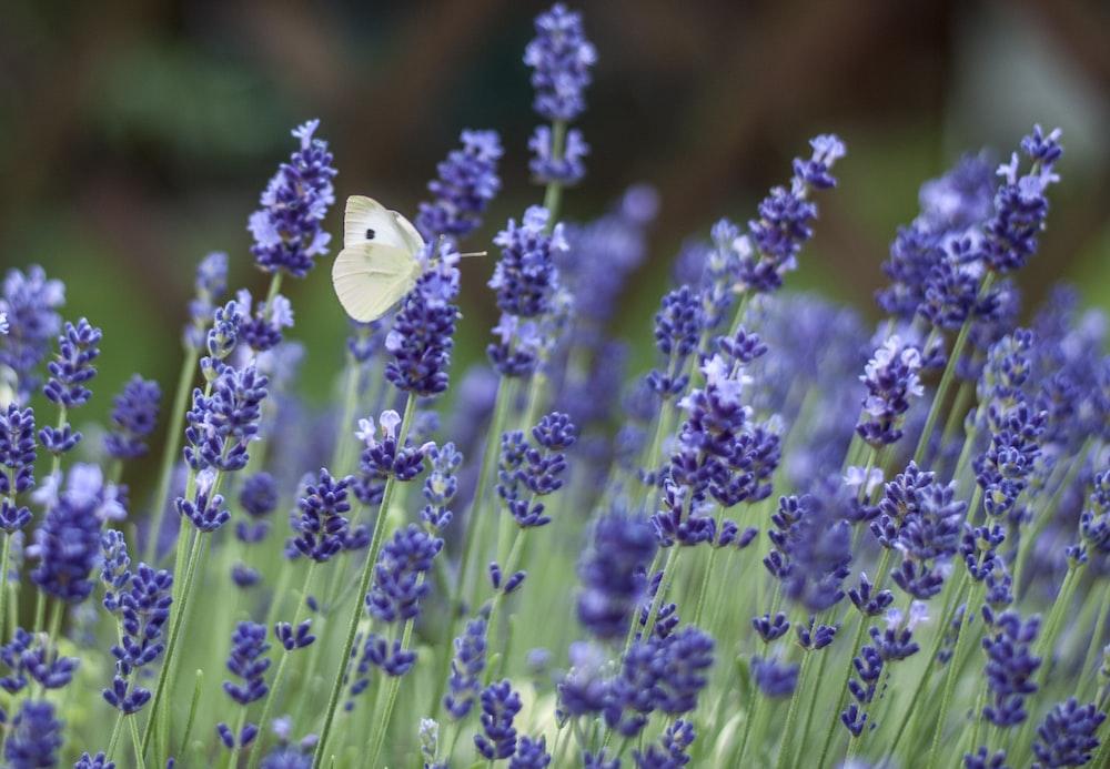 white butterfly on purple petaled flowers
