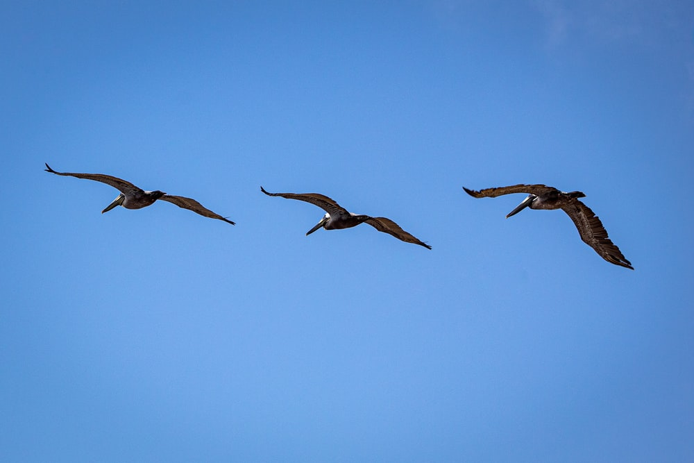 three brown seagulls flying