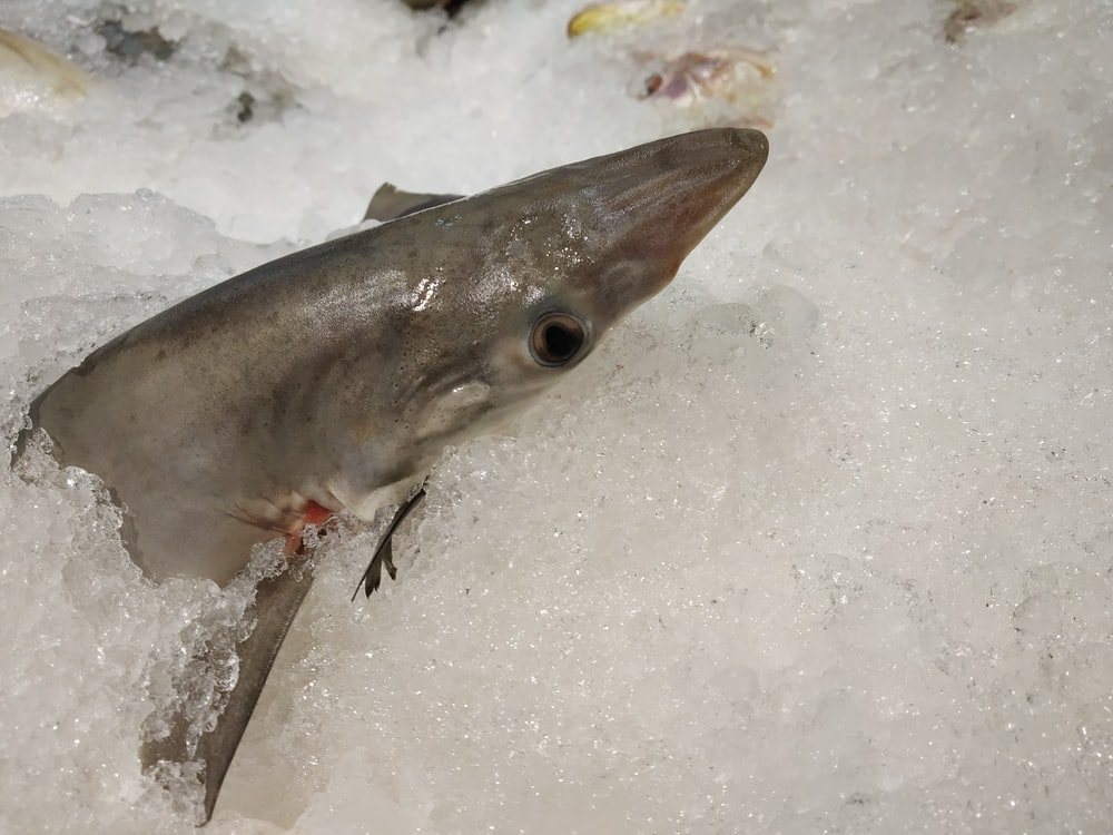 gray fish on ice